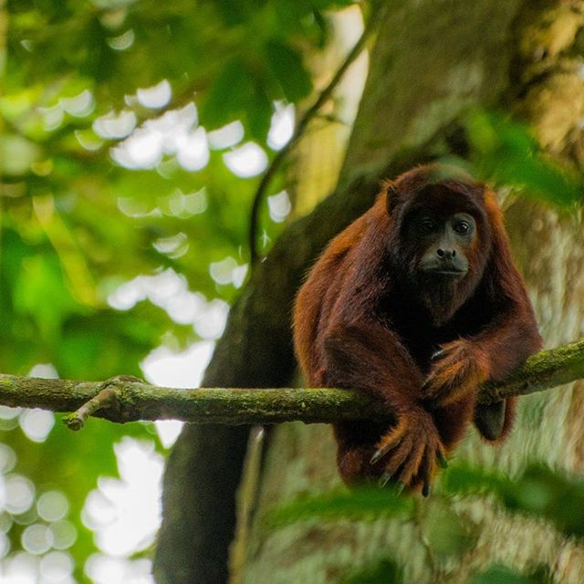 Say hello to this beauty of a red howler monkey!  One of the many wild creatures you'll meet in the world's top bidiveristy hotspot: #ManuNationalPark #Peru 🐍🐒🐸 (yes, this is where we're headed on our film expedition! 😍) Check out our website for more #wildlifephotography from Manu and how we're collaborating with folks to protect it.... voices on an amazon road film dot com  #expedition #film #adventure #amazon #rainforest #adventurelife #challenges #southamerica #womenwhoexplore #bold #explore #outdoorlife #creative #womenwhocreate #biology #research #liveyouradventure #jungle #manu #manubiospherereserve #conservation #conservationfilmmaking #freshairandfreedom #mytinyatlas #neverstopexploring #outdoorgirls #VoicesOnTheRoad