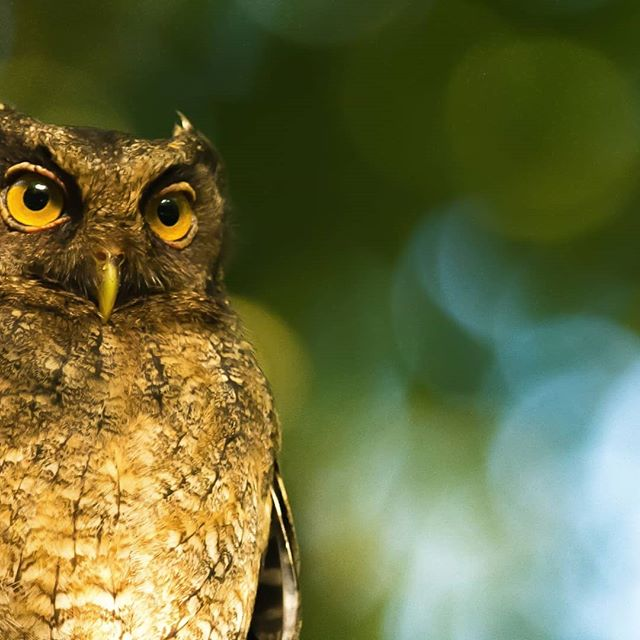 Manu is rich in bird life and this Tawny-bellied Screech-Owl is a personal favourite who's often heard screeching around camp.  Their nocturnal vigilance is linked to wisdom & knowledge - just what we're seeking on our film expedition! #WisdomWednesday #voicesontheroad  Photo by @wildlands_creative  #getoutdoors #explore #expedition #wildlifefilmmaking #wildlifephotography #wildlifephotos #wiseowls #adventuretravel #birdwatchingperu #birding #southamericatravel #peru #manubiospherereserve #manunationalpark #wildlifeconservation #biodiversityisawesome #biodiversityandconservation #research #fieldworkdiaries #jungleliving #conservation #conservationphotography #conservationmedia #creesfoundation