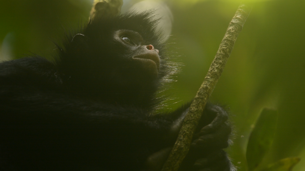 """A male spider monkey nervously watches for potential predators. Still from Eilidh Munro's short documentary """"A Rainforest Reborn,"""" produced for The Crees Foundation."""