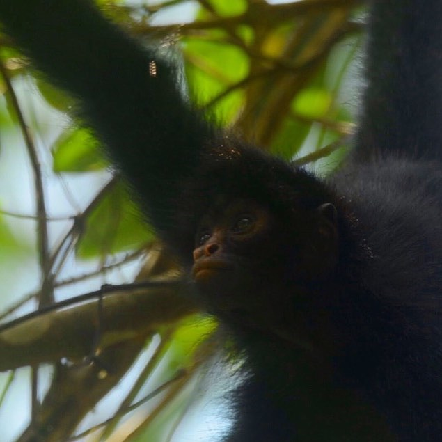 ✏️ New blog post 🐒#linkinbio . . . What it takes to film spider monkeys in the rainforest... and why it matters! -- written by teammate @eilidhmmunro following her feature in @mongabay & the release of her short film A Rainforest Reborn . . . #monkey #primate #blog #scottishblogger #adventureblog #adventureblogger #natureblogger #wildlifephotographer #wildlifephotography #nature #naturephotography #wildlife #southamerica #manubiospherereserve #expedition #explore #travel #travelphotography #travelblogger #visitperu