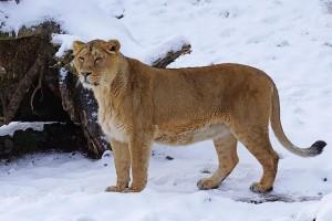 lion-1145040_640