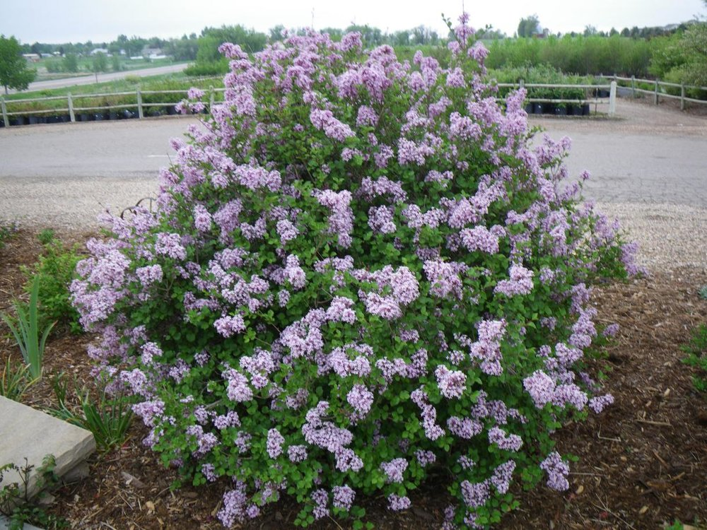 Dwarf Korean Lilac (Syringa meyeri 'Palibin') are drought tolerant once established.
