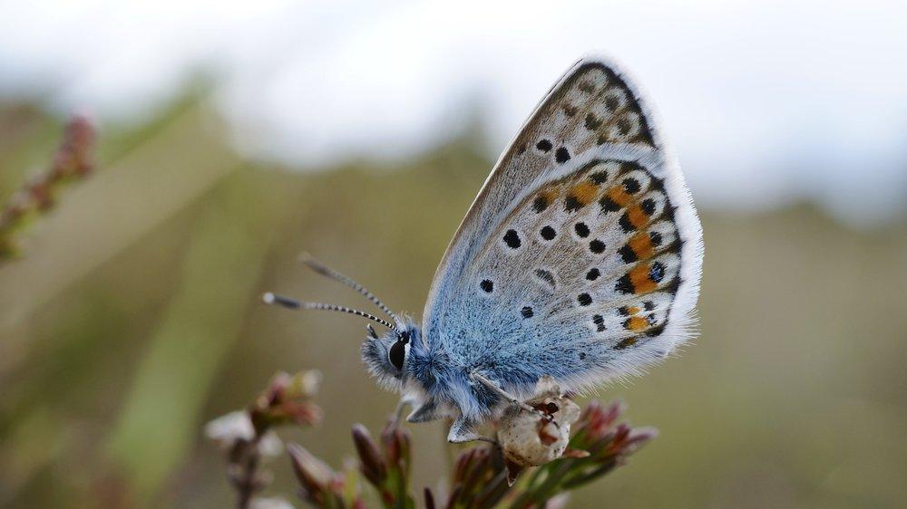 Silver_Studded_Blue_butterfly_(9126228121).jpg