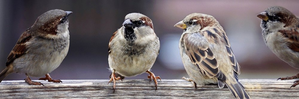 sparrows-2759978_1920.jpg