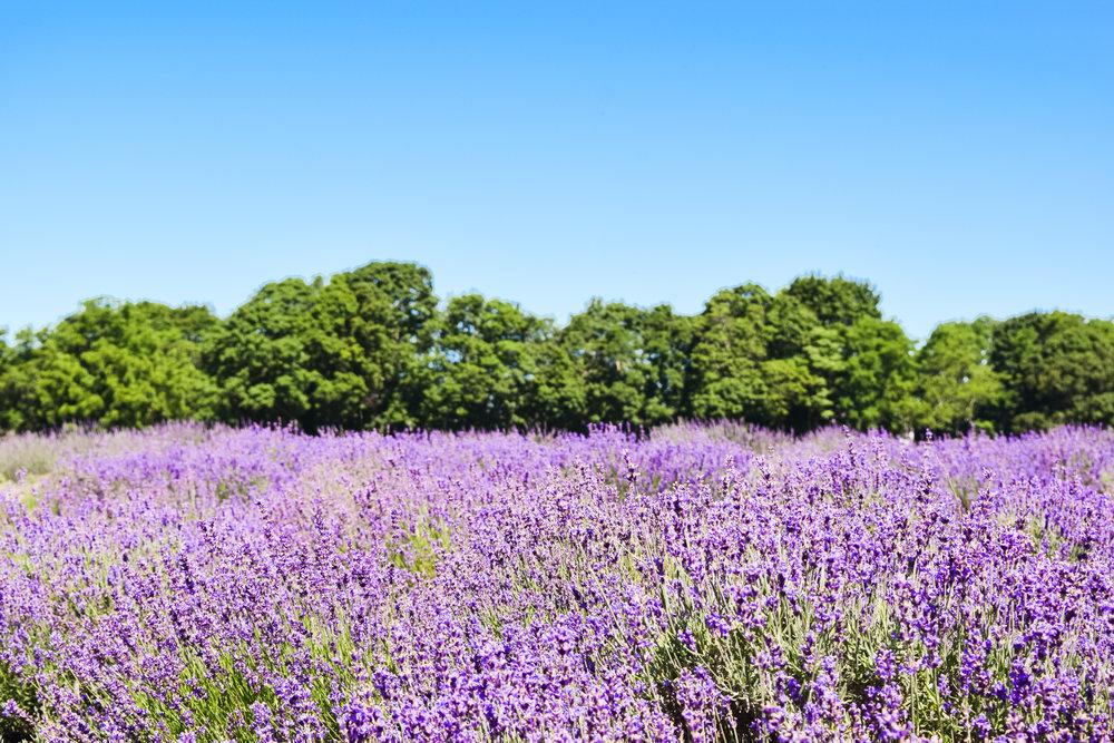 mingdliu_lavender farm