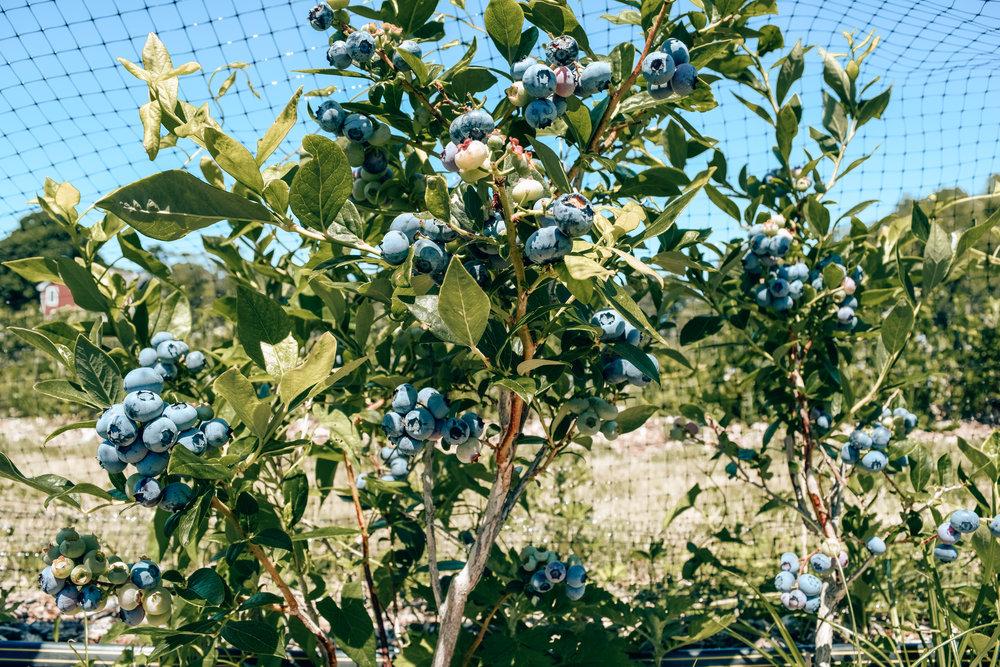 mingdliu_blueberries