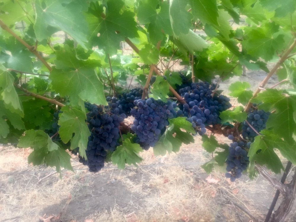 Tapteil Grapes