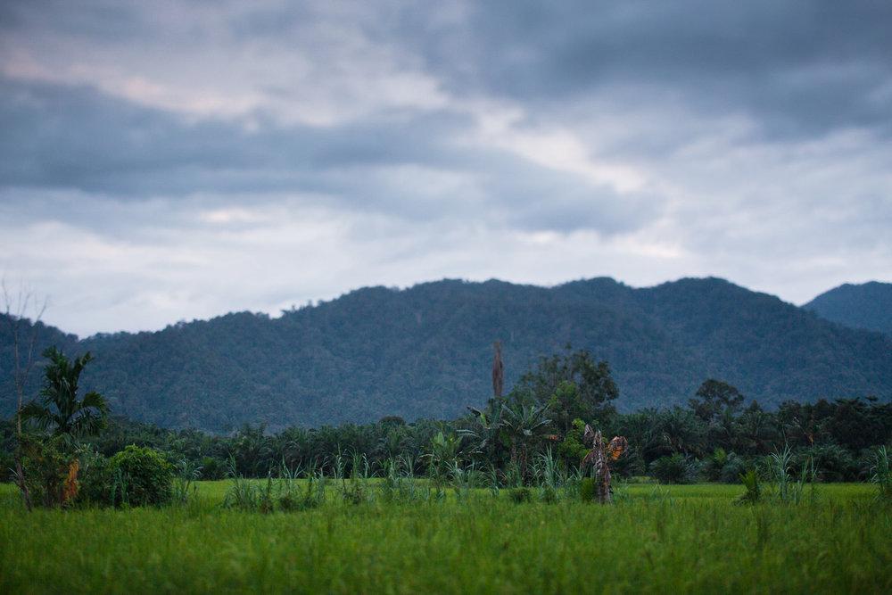 The school resides on the land of a local rice farmer who donated a small building for the learning centre to grow. The rice paddies once bordered a natural rainforest buffer zone between his property and the Gunung Leuser ecosystem. Today, oil palm plantations can be seen on his borders, a common sight in today's Sumatra.