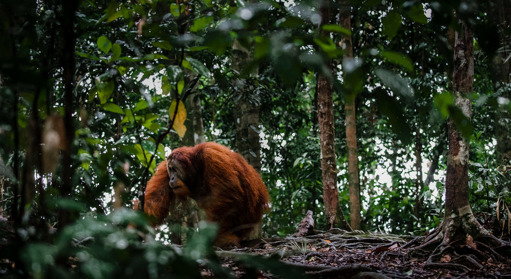 A wild, male Sumatran orangutan passes through the Gunung Leuser National Park in northern Sumatra. This park holds some of the most diverse ecosystems of the world.