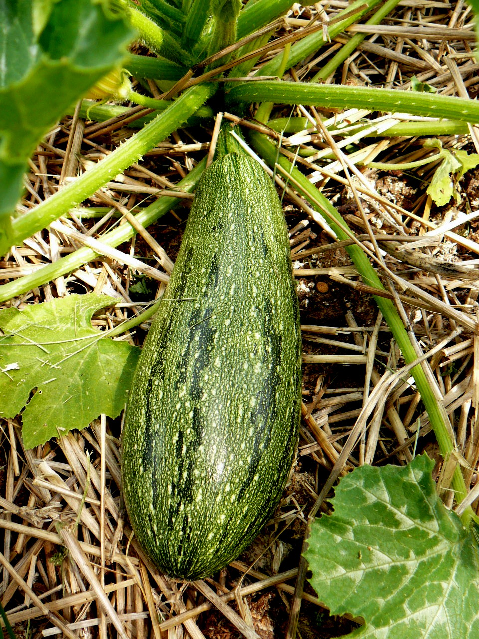gray striped zucchini.jpg