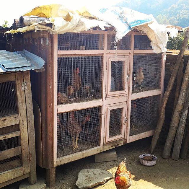 "Every house in Rainaskot has chickens now. In Nepal, people notice the big difference in quality between ""local chicken"", which are totally free range, wandering around the village, and broiler chicken.  The environment in Rainaskot is ideal for raising local chickens. The villagers can receive between $15-25 for each chicken, depending on size and age, making this a very good business as an addition to the homestay income."
