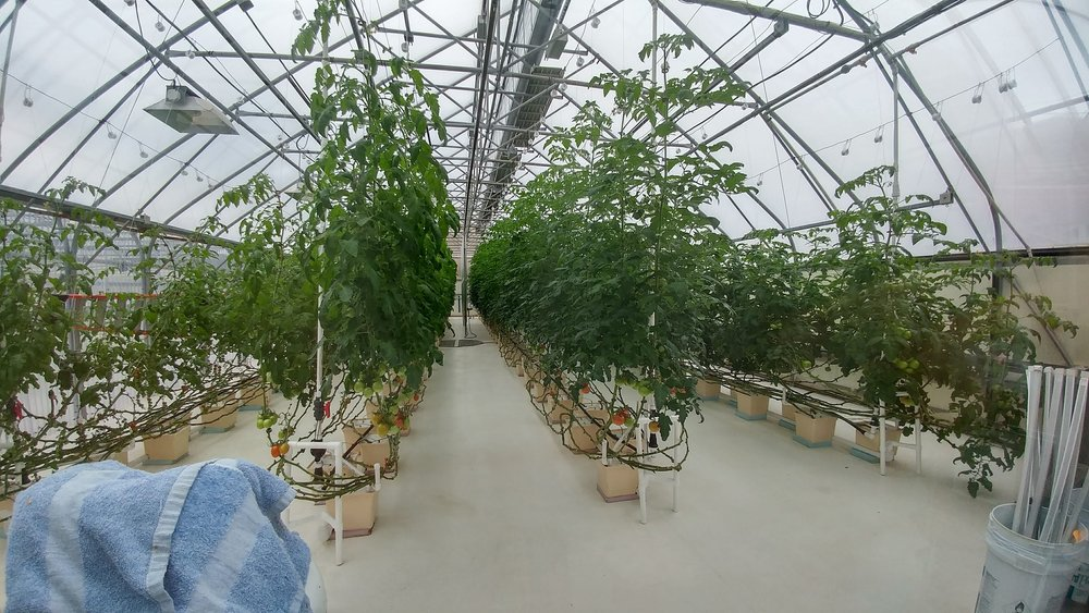 The tomato greenhouse at Chena Hot Springs.
