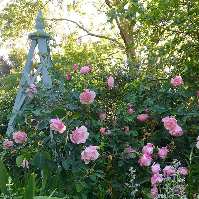 Climbing Madame Gregoire Staechelin, looking lush in my rose garden borders (swipe to see it up close, along with my favourite paeony). Helplessly in love with old fashioned roses and their gentle blowsy sweetness. #countrygarden #oldroses #springgarden #paeonia #eveninglight #wallendbeen
