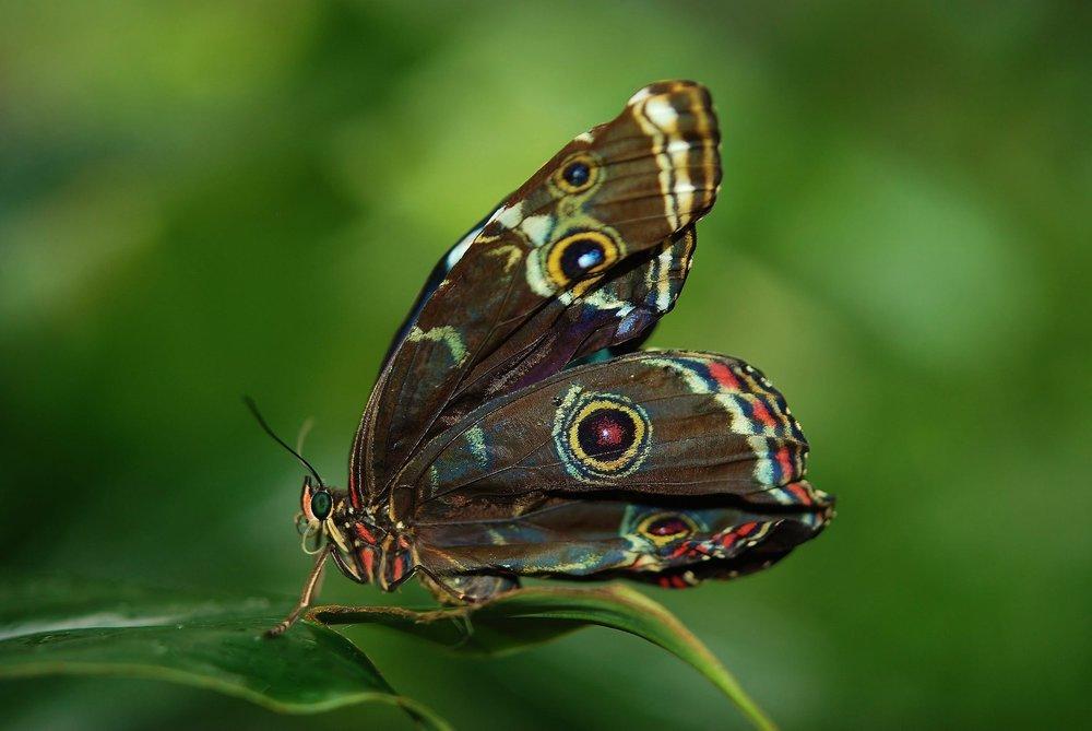 morpho-peleides-butterfly-butterflies-63636.jpeg