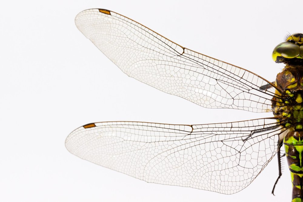 dragonfly-insect-animal-wing.jpg