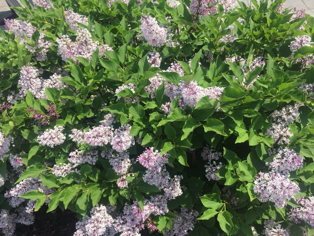 Lilacs+2.jpg