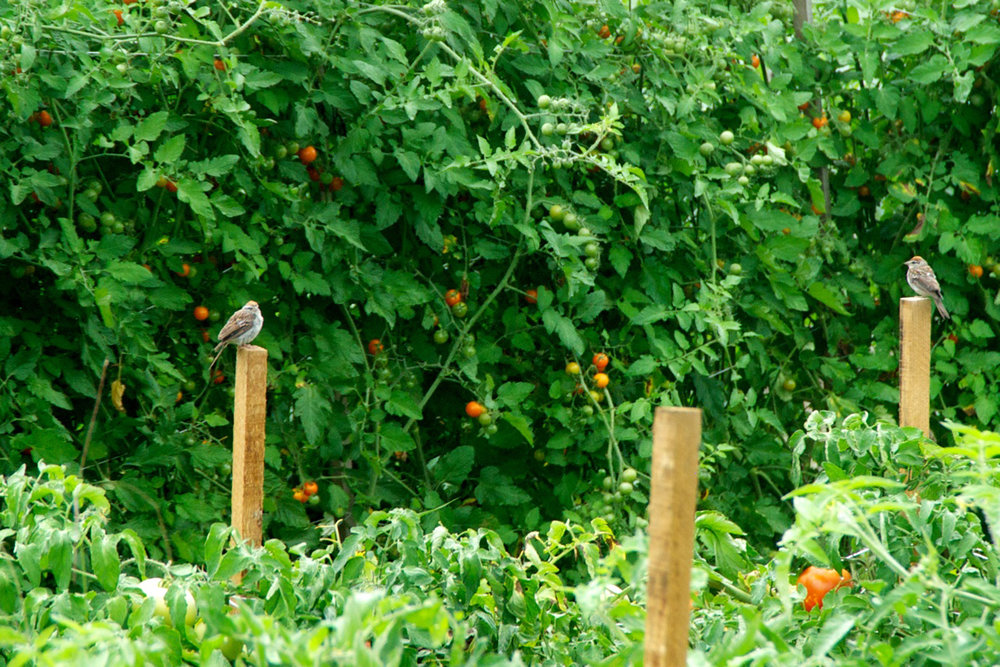 The field sparrows love perching on the sticks in our fields