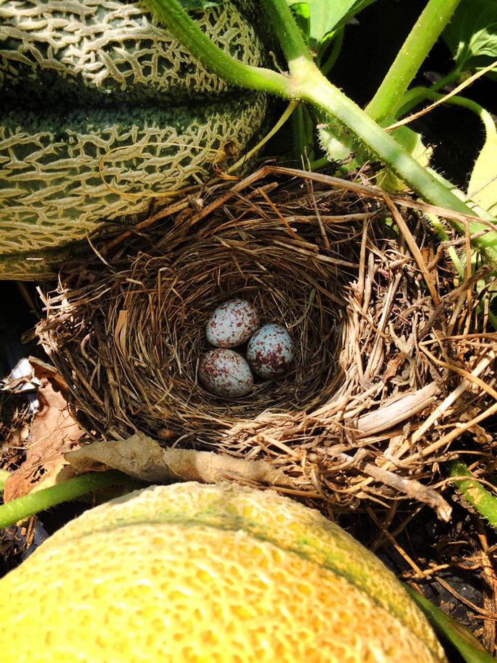 killdeer-nest2.jpg