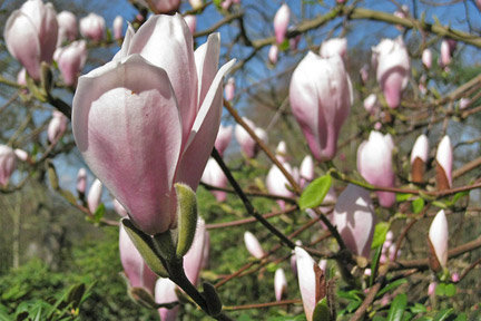 Planted Magnolia in bloom.