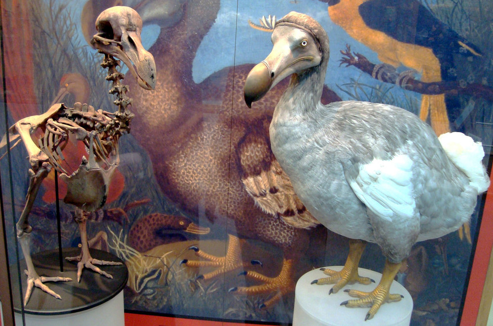 Dodo display at the Oxford University Museum of Natural History