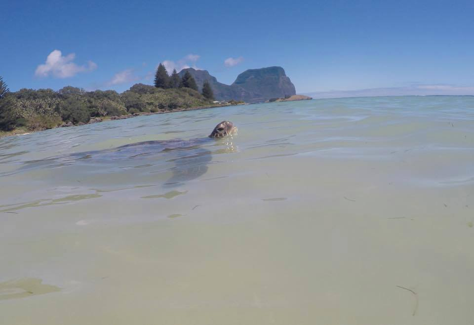 Swimming with turtles on Lord Howe Island
