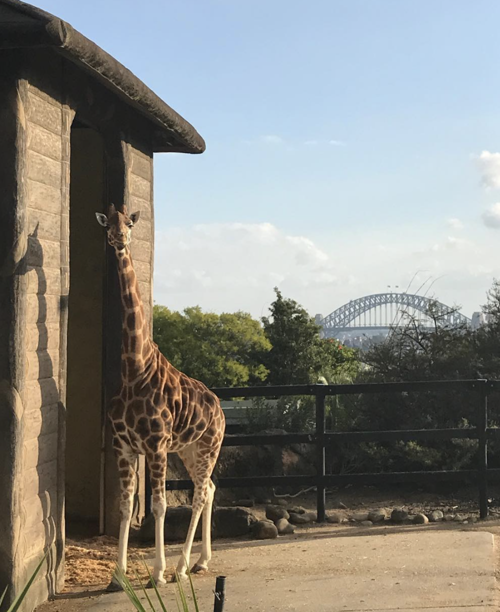 Zarafa, one of Taronga Zoo's resident giraffes