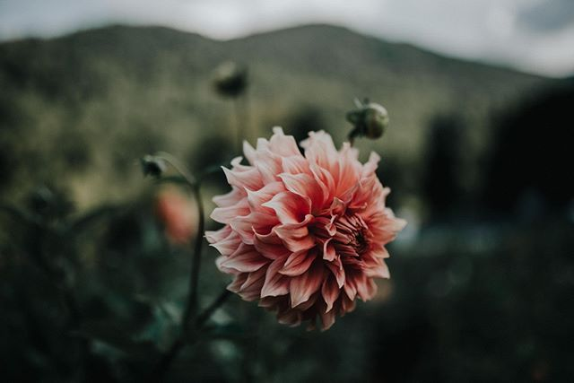 Have you ever seen @blueridgeblooms lovely Dahlias? They make me really happy.