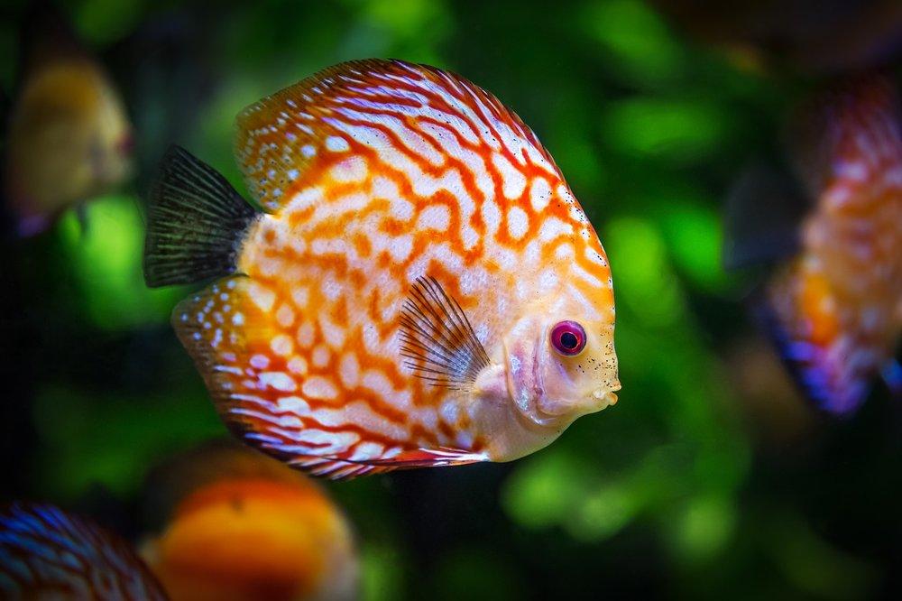 discus-fish-1943755_1280.jpg