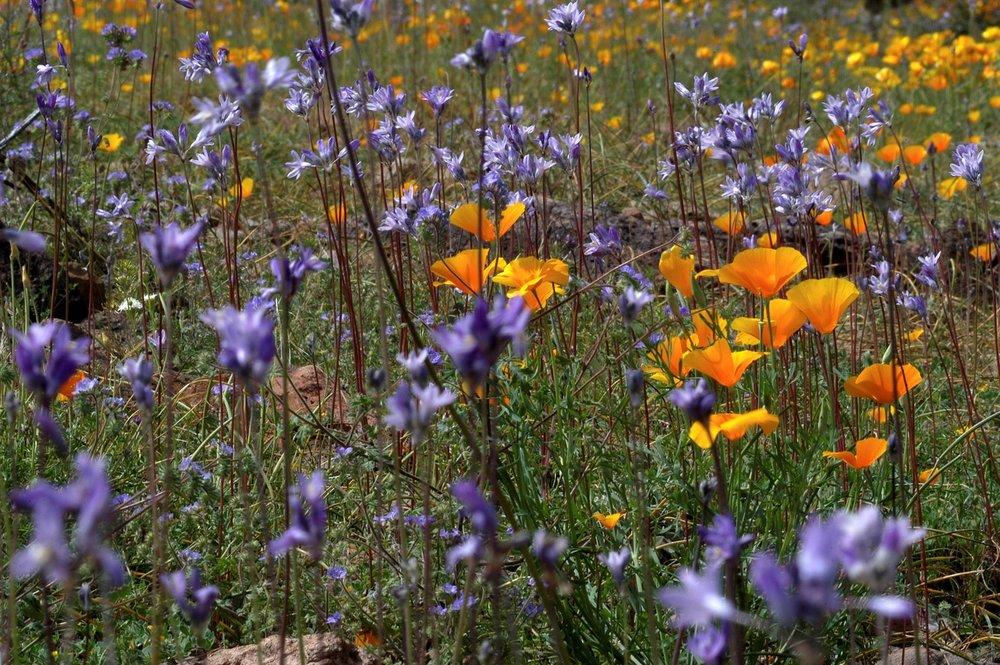 wildflowers-030405-sarco-rd111.jpg