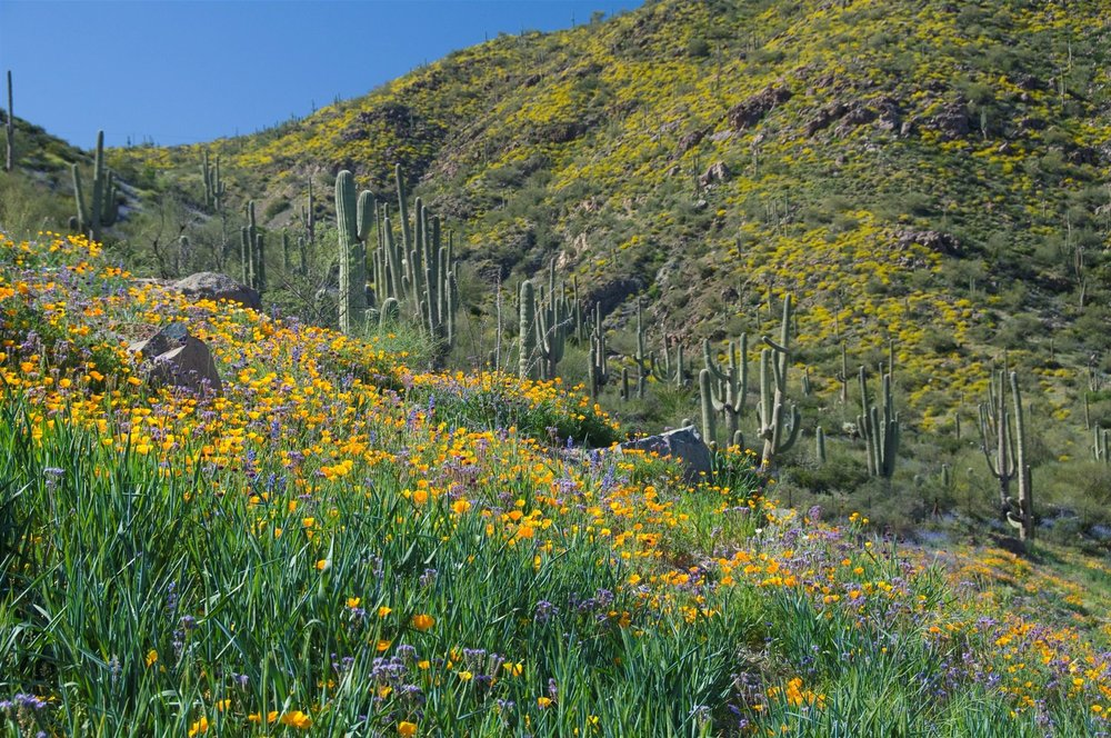 wildflowers-against-saguaros-and-mountains (1).jpg