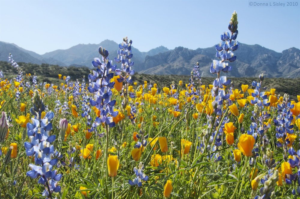 wildflowers-catalina-sp-tucson-05-11.jpg