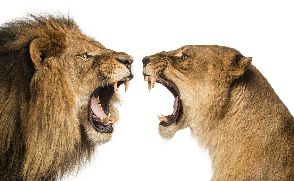 iSP_Lion & Lioness.jpg