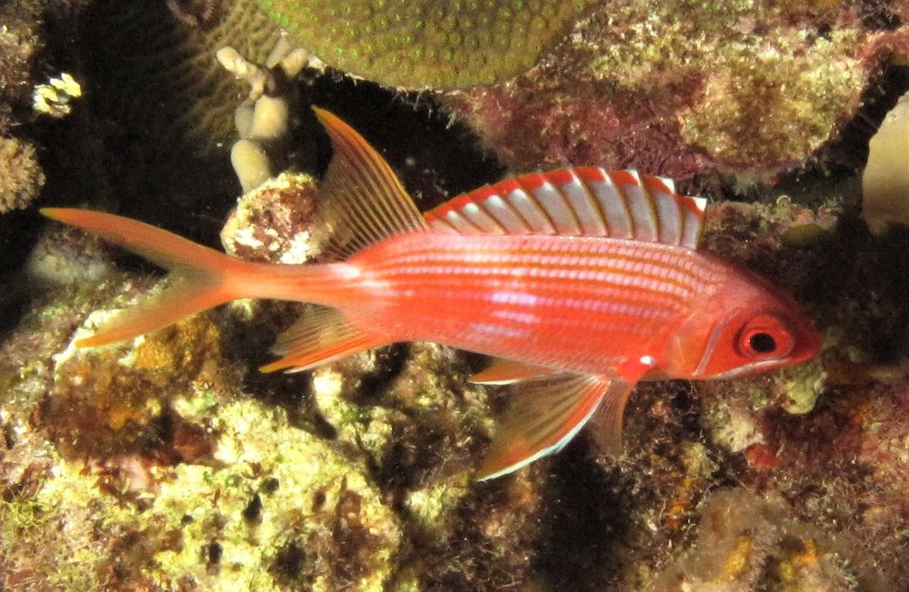 A squirrelfish, one of the many species of large-eyed reef fish that come out at night. Photo: A. Dornburg