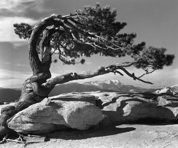 """Jeffrey Pine, Sentinel Dome, Yosemite National Park""  Ansel Adams (1940)"