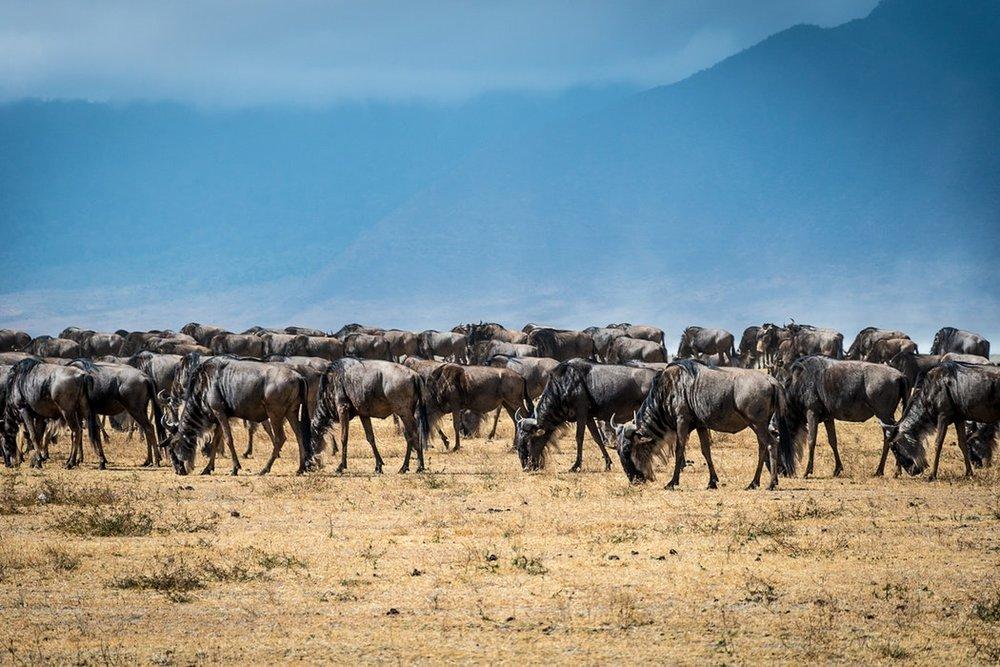 Kenya Wildebeest.jpg