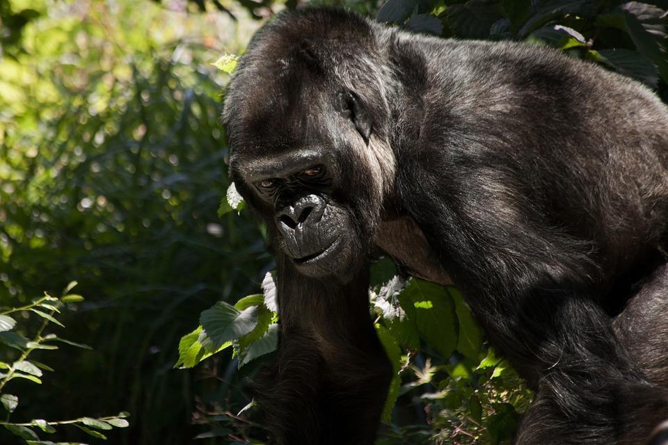 Uganda Gorilla 2.jpg