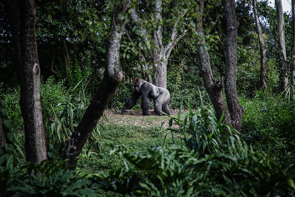 Uganda gorilla secret.jpg