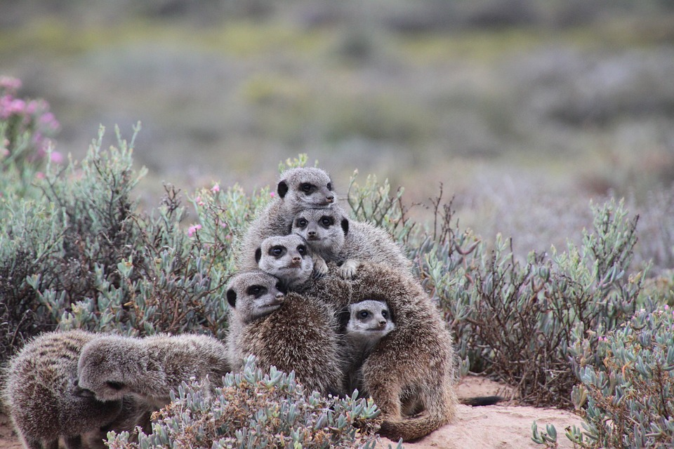 South Africa meerkat.jpg