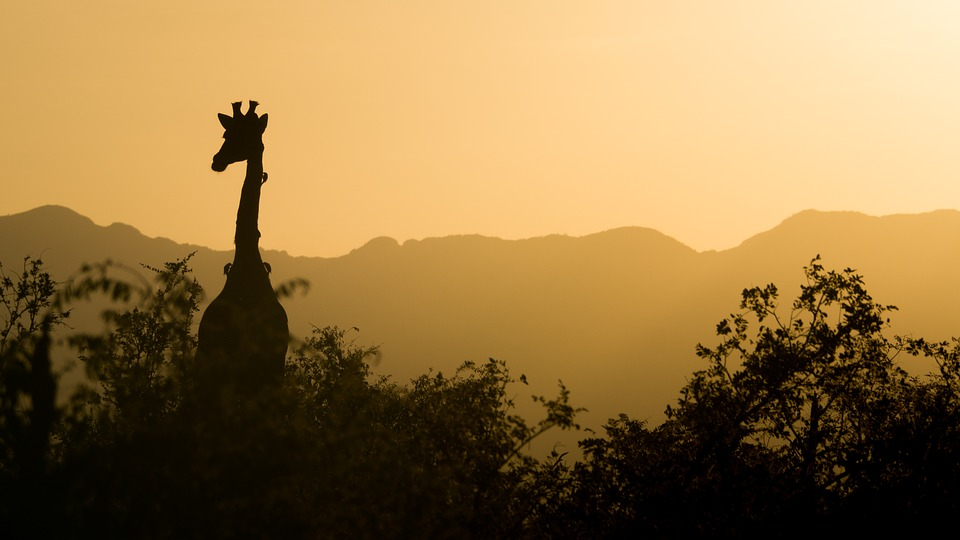 South Africa giraffe.jpg