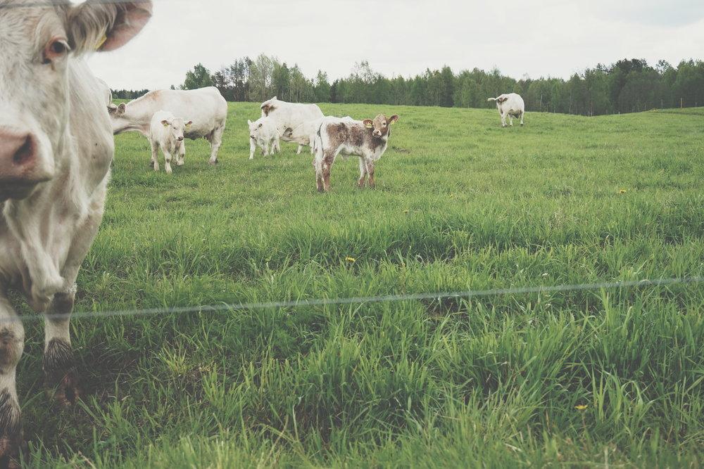 lehmät_laitumella.jpg