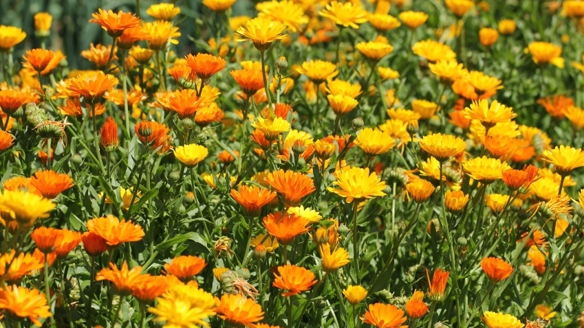 Calendula - Anti-inflammatory and used to treat sore throat and mouth.