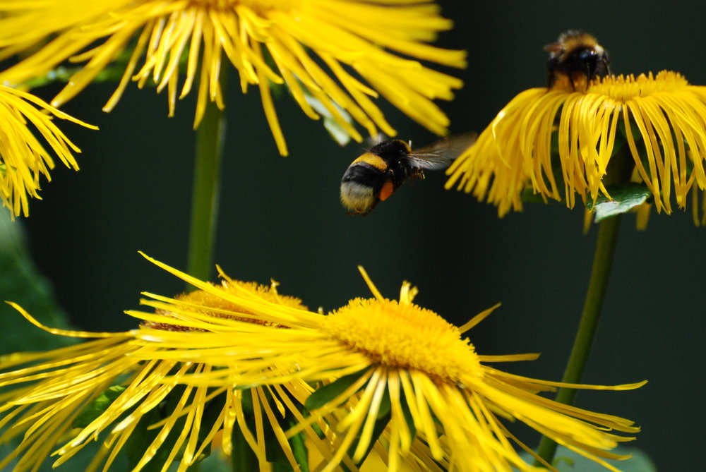 uwm.flower.essence.nature-plant-dandelion-flower-pollen-insect-278962-pxhere.com
