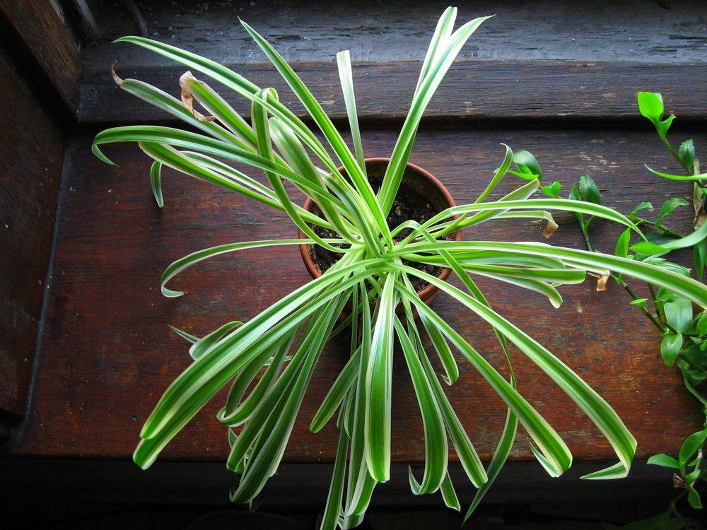 uwm.spiderplant