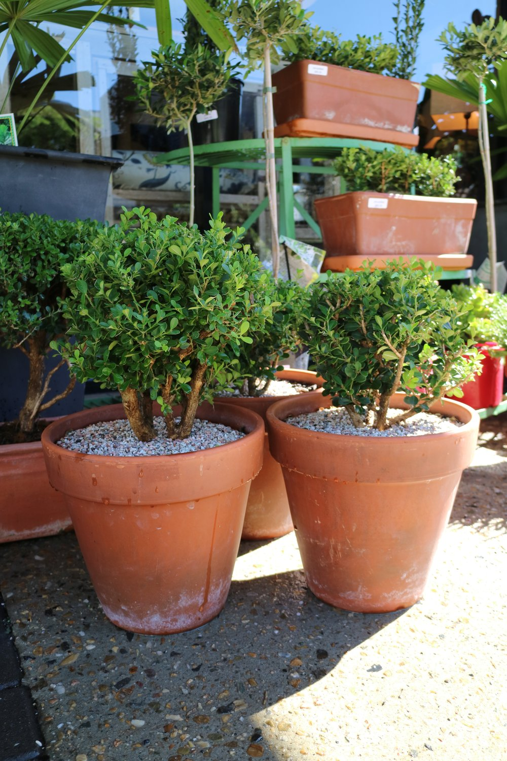 Buxus toparies