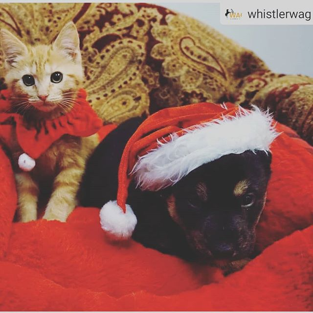 Excited to be doing photos with Santa today at the @hiltonwhistler with @whistlerwag! 🎄🎄 $25 donation goes to the animal shelter and gets a printed 📸photo with Santa from yours truly!