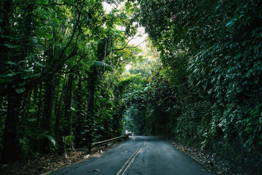 Driving through the rainforest, north of Hilo.