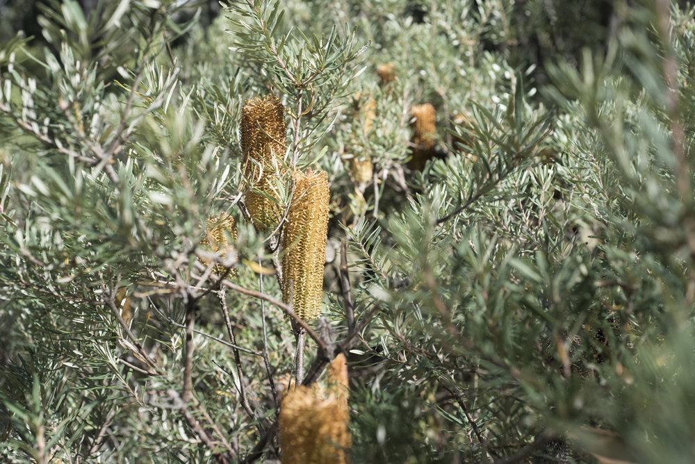 Banksia in Girraween