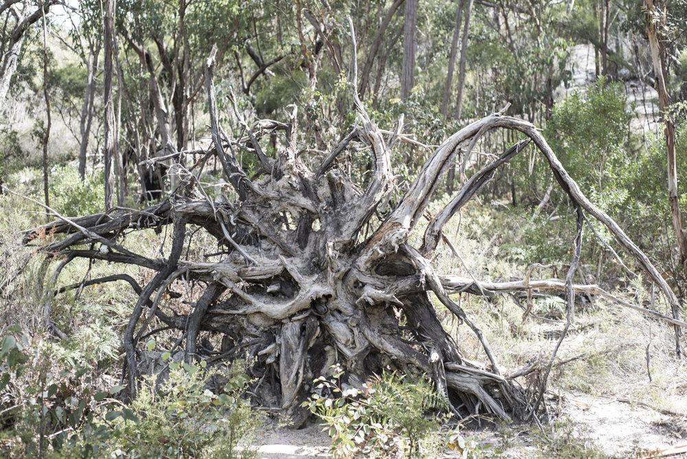 Upturned gum tree