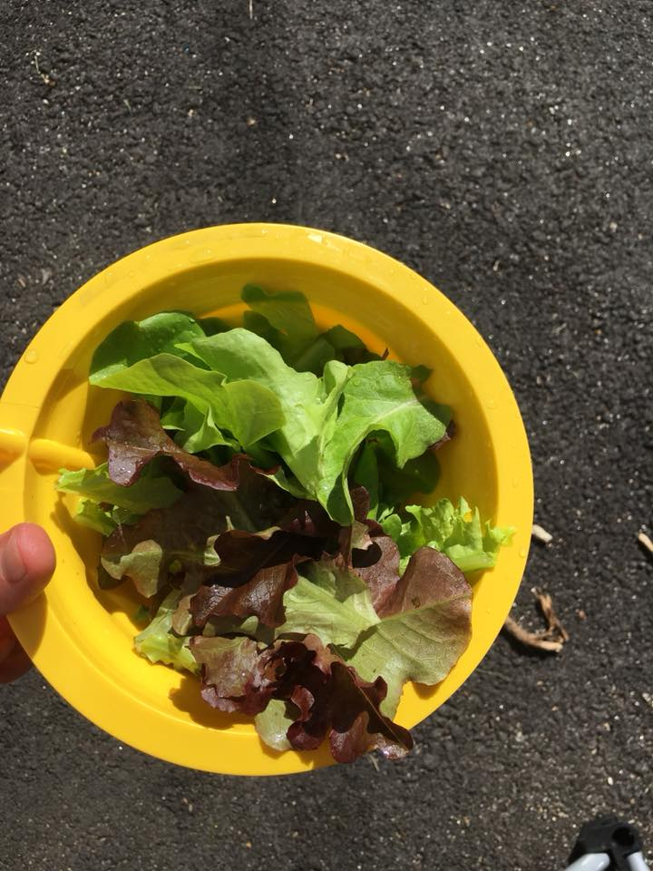 Michelle's first edible harvest!