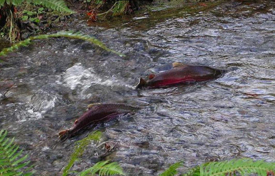Disastrous' Coho Returns Threaten Western Washington Tribes